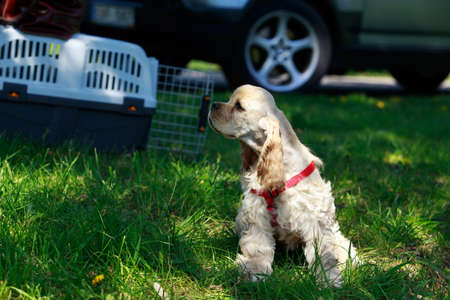 The puppy American Cocker Spaniel on a green grass