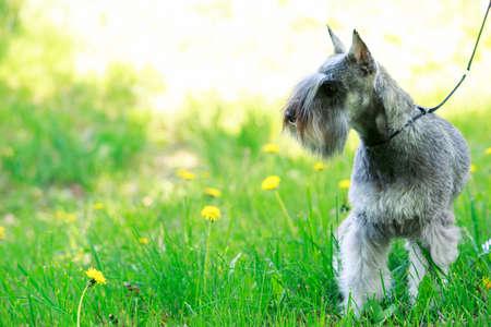 緑の芝生の上の犬種ミニチュア ・ シュナウザー 写真素材