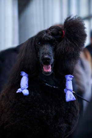 dog grooming: Preparation of a Great Royal Poodle for the exhibition