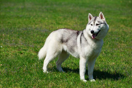 Young dog breed Alaskan Malamute on background green grass Stock Photo