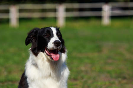 The dog Border Collie sitting on green grass