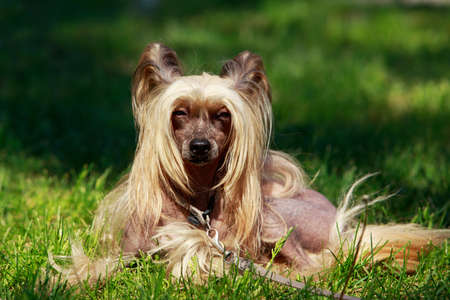 Chinese Crested Dog female lying on background green grass