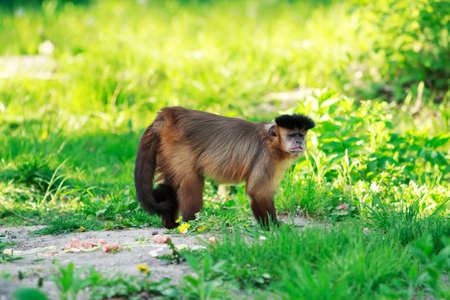 Brown capuchin monkey on a green background