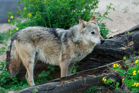Wild forest wolf in summer on earth Stock Photo