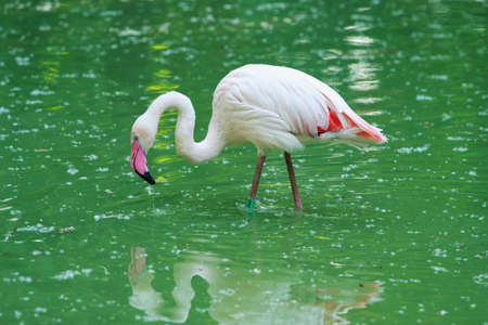 camargue: Phoenicopterus ruber roseus stand in the water