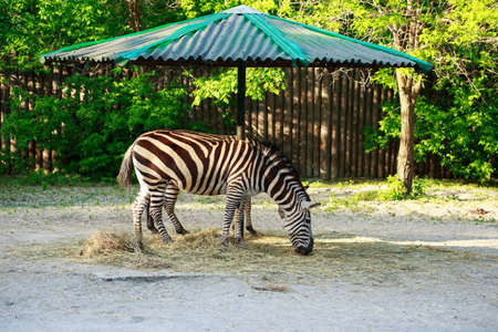The two wild striped zebras eat hay