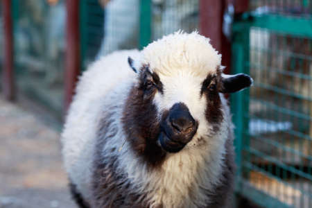 Portrait of a sheep in the outdoor