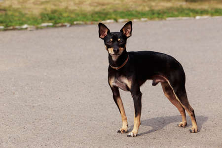 miniature breed: The dog breed Manchester Toy Terrier a close-up Foto de archivo