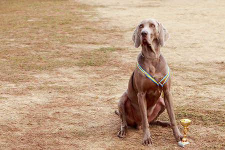 Dog breed Weimaraner sits on the lawn with his award