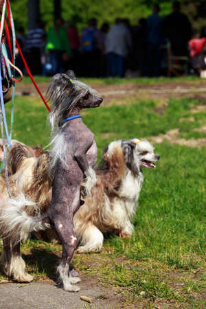 Group of beautiful Chinese Crested dogs on the grass Stock Photo