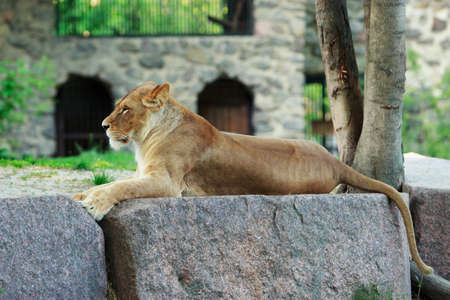Lioness rests on a stone in the summer Stock Photo
