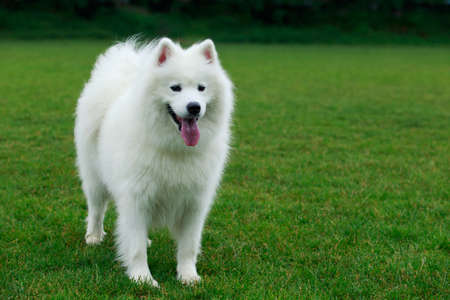 Dog breed Samoyed on a green grass