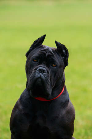 cane collars: The dog breed Italiano Cane Corso on a green grass
