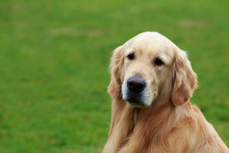 The dog breed Golden retriever on a green grass Banco de Imagens - 84489908