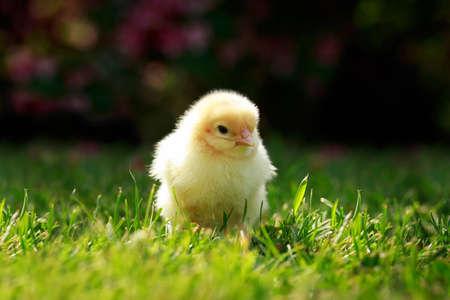The little chicken on a green grass