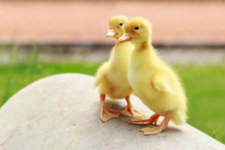 Two small yellow duckling stand on a stone