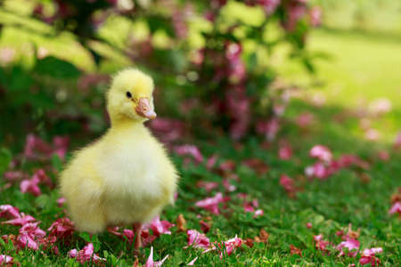 The little yellow duckling on green grass Stock Photo