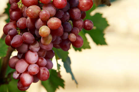 bunch of ripe grapes hanging on the bush Stock Photo