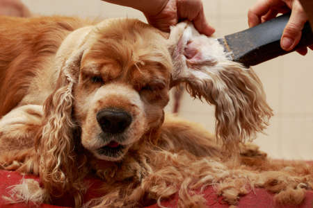Grooming hair of a dog Cocker Spaniel