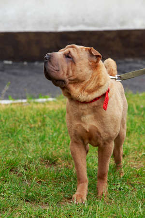 Shar Pei dog on the green grass Stock Photo