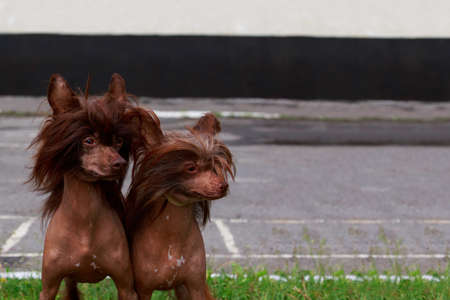 Two dogs of the breed Chinese Crested on green grass Stock fotó
