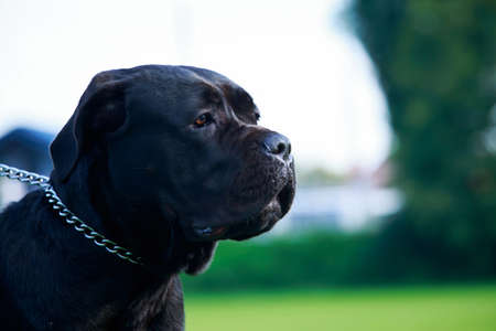 The dog breed Italiano Cane Corso close-up Stockfoto