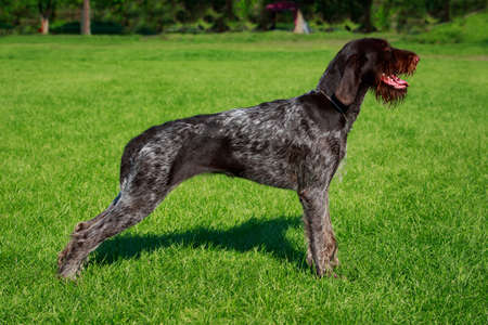 The dog breed Drahthaar stands on green grass