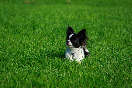Dog breed chihuahua on a background of green grass Imagens