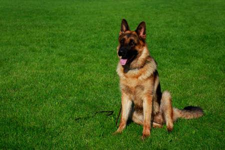 Dog breed German Shepherd is sitting on a green grass Archivio Fotografico