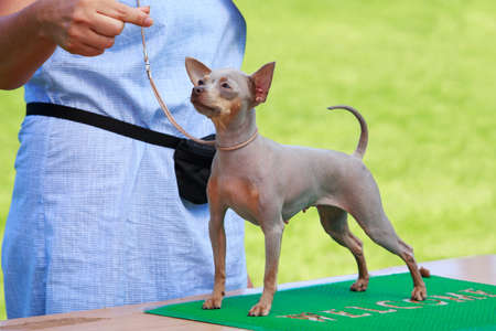 Dog breed American Hairless Terrier is standing on table