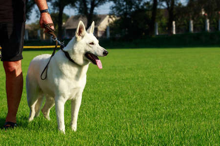 White swiss shepherd dog stand on green grass