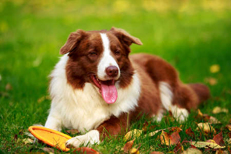 Dog breed Border Collie is lying down on green grass Banque d'images