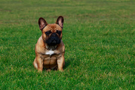 Dog breed French Bulldog is sitting on green grass Stock Photo