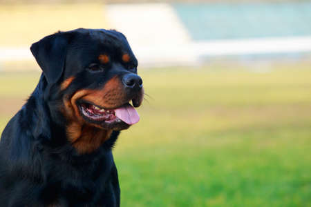 Portrait a dog breed rottweiler close up