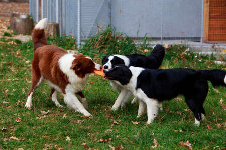 Three dogs of breed Border Collie playing in frisby on the garden