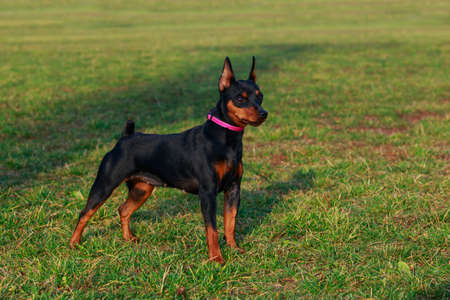 Dog breed Miniature Pinscher stands on the green grass in park Stockfoto
