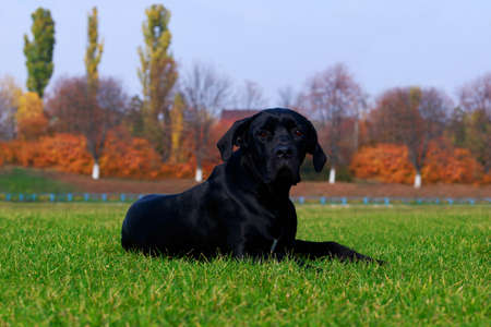 Dog breed Italiano Cane Corso lying on the green grass in a park