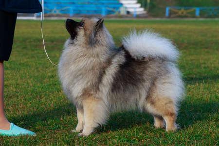 Dog breed keeshond standing on green grass Stockfoto