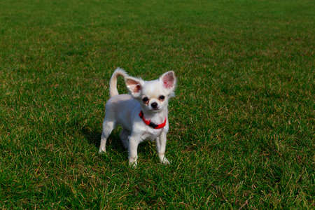 Dog breed chihuahua on a background of green grass Stock fotó