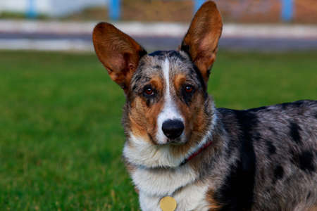 Young puppy breed Welsh Corgi Cardigan close up on green grass background