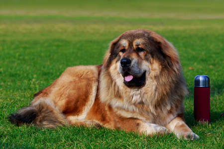 Dog of breed Caucasian Shepherd lying in the park and guards a burgundy thermos