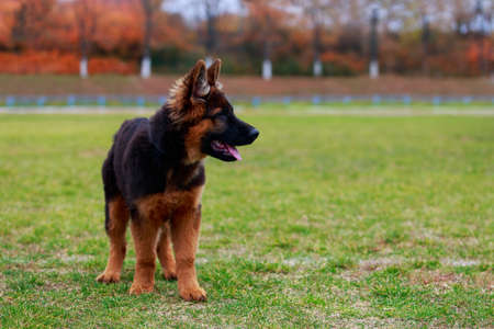 Little puppy of breed German Shepherd stands on green grass in the park