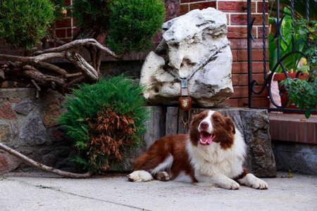 Dog Border Collie lying in a garden