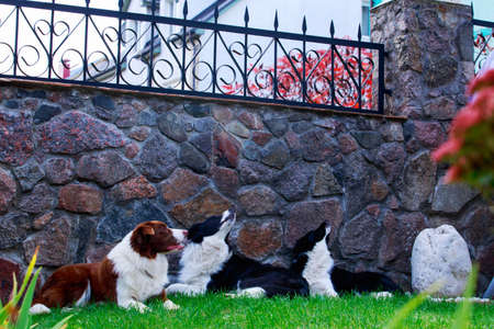 Three dogs of breed Border Collie in a garden on green grass