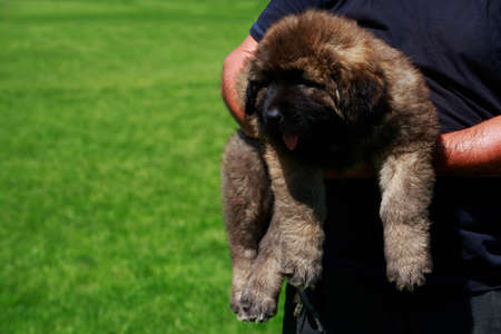 Puppy breed Caucasian Shepherd on the hands of a man