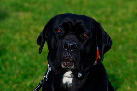Portrait a dog breed Italiano Cane Corso on the background of green grass