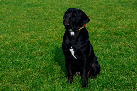 Dog breed Italiano Cane Corso sitting on the green grass in stadium