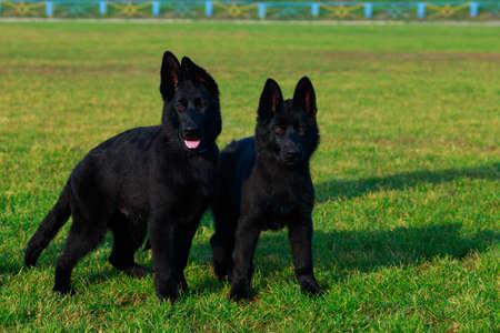 Dos pequeños cachorros de pastor alemán de raza se encuentra en la hierba verde en el parque Foto de archivo