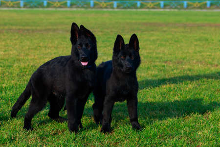Two little puppy of breed German Shepherd stands on green grass in the park Stock Photo
