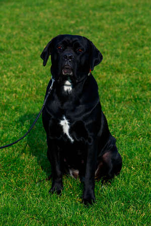 Dog breed Italiano Cane Corso sitting on the green grass in park